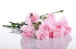 Claveles rosados Fotografía de archivo