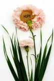 Claveles rosados de la esperanza Fotografía de archivo libre de regalías