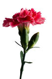 Clavelina. Red carnation flower isolated with clipping path on white Royalty Free Stock Images