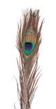 Clavette colorée de paon Photos stock