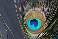 Clavette de paon Image stock