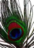 clavette de paon Photo stock