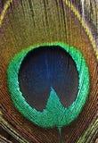 Clavette de paon Photographie stock