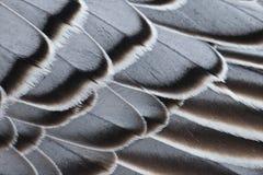 Clavettes d'oie de Magellan Photo libre de droits