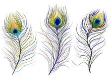 Clavettes de paon illustration libre de droits