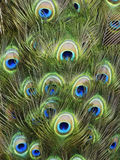 Clavettes de paon Image libre de droits