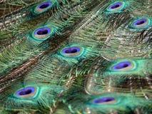 Clavettes de paon Photos libres de droits