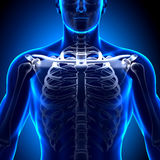Clavicle Bone Anatomy - Anatomy Bones. Medical imaging Royalty Free Stock Photos