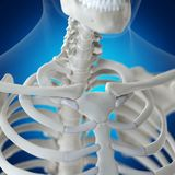 The clavicle. 3d rendered medically accurate illustration of the clavicle royalty free illustration