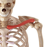 The clavicle Stock Images