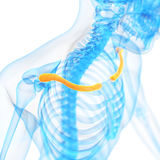 The clavicle. Medical 3d illustration of the clavicle stock illustration