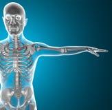 Clavicle promieniowania rentgenowskiego kościec ilustracja wektor
