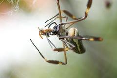 Clavipes di dorada o Nephila di Araña de seda, 4 Fotografie Stock