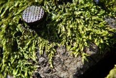 Clavos en la madera con el musgo Foto de archivo