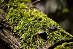Clavos en la madera con el musgo Fotos de archivo libres de regalías