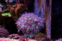 Clavularia glove polyps. Large polyp coral in reef aquarium tank stock images