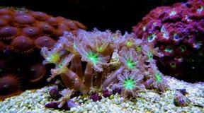 Clavularia Soft Glove Polyp - Clavularia sp. Clavularia Soft Glove Polyp in reef tank - Clavularia sp stock image