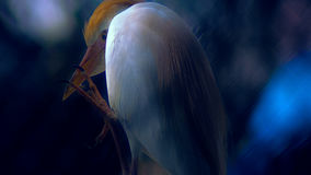 The Claw. Cattle egret with a very large claw, ominous, scary, 2015 royalty free stock image