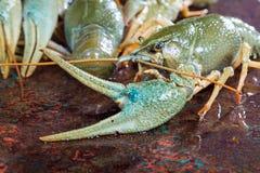 Claw crayfish closeup Stock Photo