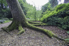 Claw-like tree root covered in moss. Long moss-covered roots of a leaning tree in the English countryside. The claw-like nature of the root is symbolic of the Royalty Free Stock Photos