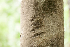 Claw mark. Claws marked on a tree in deep tropical forest, Thailand Stock Photos