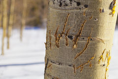 Claw Marks. Bear Claw marks on Aspen Trunk. Grove of Aspens in Winter with Snow stock photos