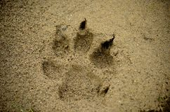 Claw paw print on sand. Claw paw print on river beach sand royalty free stock photo