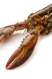 Claw of Raw lobster. Claw of  Raw lobster on withe background Stock Image
