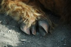 Claw of a scottish highland cow Stock Photography