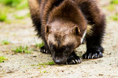 Clawed Wolverine Sniffing the Ground Royalty Free Stock Photo