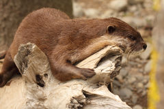 Clawless Otter Resting Royalty Free Stock Image