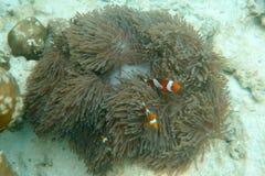 Clawnfish Lizenzfreies Stockfoto