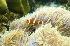 Clawnfish Photographie stock