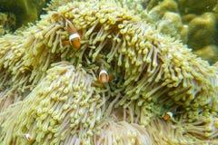 Clawnfish Стоковые Фотографии RF