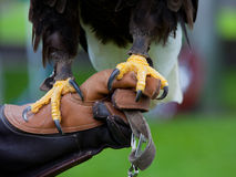 Claws of Bald Headed Eagle royalty free stock photos