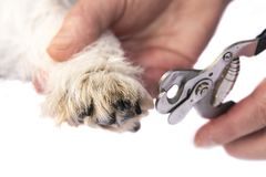 Claws cut by a Jack Russell Terrier dog. Close up royalty free stock photos