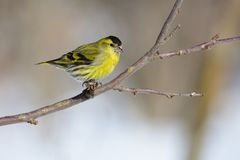 Claws firmly hold the eurasian siskin on the branch of a wild apple tree. Claws firmly hold the eurasian siskin Spinus spinus on the branch of a wild apple tree Stock Photography