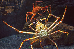 Claws Giant Crab Royalty Free Stock Image