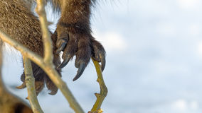Claws. or hands of a red-necked wallaby Stock Photos