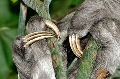 Claws of a three-toed sloth. A Bradypus variegatus known as three-toed sloth hides its face behind the arms wrapped around the branches of a tree. Animal might Royalty Free Stock Image