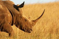 Claxon del rinoceronte Imágenes de archivo libres de regalías