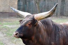 Claxones del búfalo imágenes de archivo libres de regalías