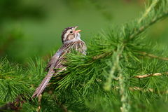 Clay-colored Sparrow Royalty Free Stock Photos
