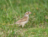 Clay-colored Sparrow Royalty Free Stock Photography