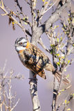 Clay-colored sparrow on a tree in Colca Canyon, Peru. Clay-colored sparrow (Spizella pallida) on a tree in Colca Canyon, Peru Royalty Free Stock Photos