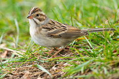 Clay-colored Sparrow Royalty Free Stock Images
