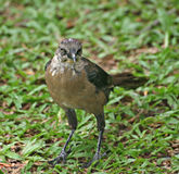 Clay-colored Thrush Royalty Free Stock Photography