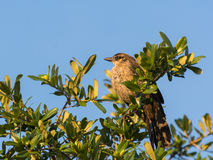 Clay colored thrush bird on the top of tree. Under the morning sunlight Stock Image