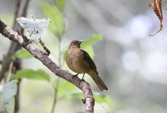 A clay-colored thrush on a branch Royalty Free Stock Photography