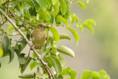 Clay Colored Thrush Royalty Free Stock Images